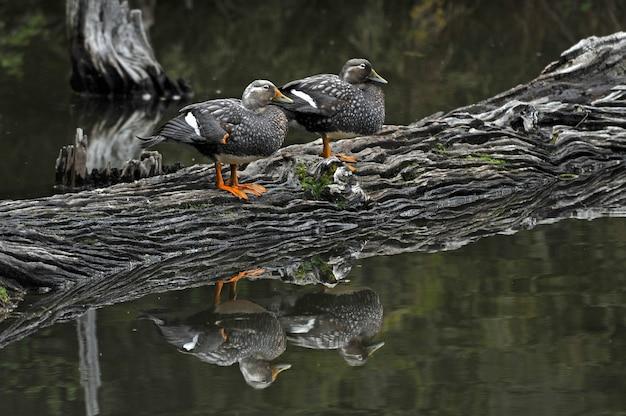 Серые кряквы, стоящие на грузовике в озере Бесплатные Фотографии