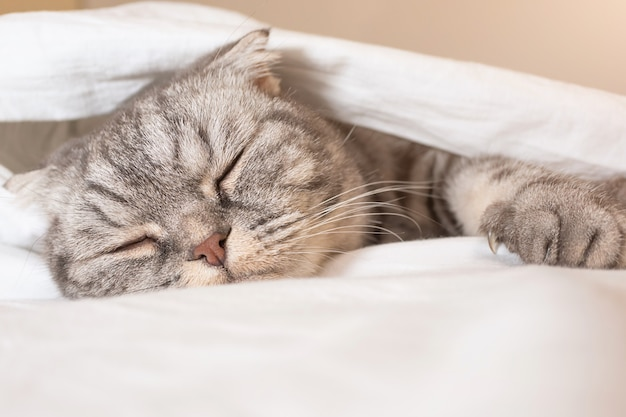 The gray scottish fold cat gray in a black strip with yellow eyes lies on a bed Premium Photo