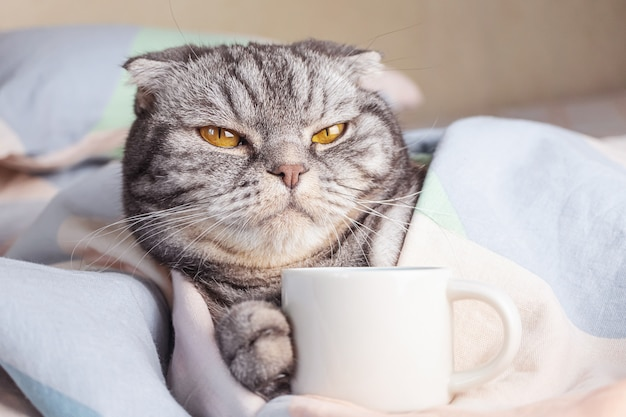 A gray scottish fold cat, gray in black stripes with yellow eyes, lies on the bed with a coffee cup Premium Photo
