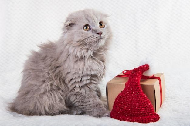 Серый шотландский вислоухий котенок хайленд вислоухий в подарочной коробке. Premium Фотографии