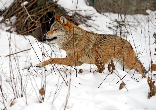 Gray wolf in the forest in winter Premium Photo