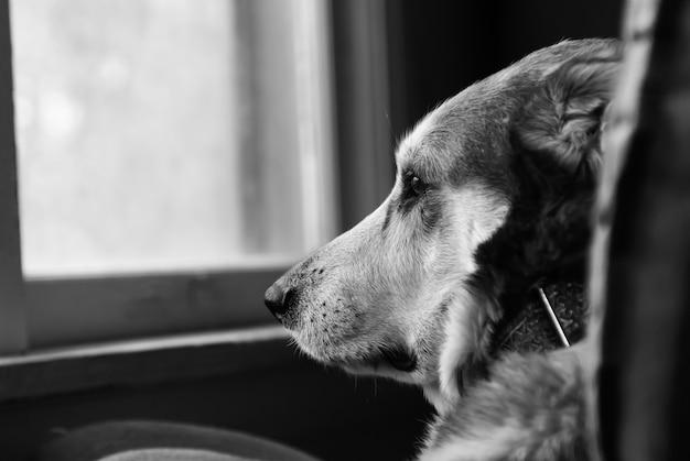 窓の外を見ている悲しい犬の熱いグレースケールの選択的な焦点 無料写真