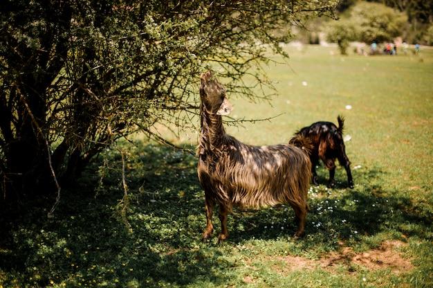 Grazing animals feeding near the green bush Premium Photo