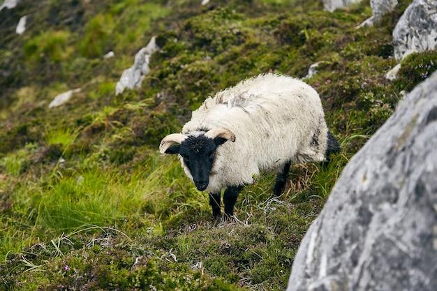 Pecore al pascolo in un campo coperto di rocce ed erba sotto la luce del sole nel parco nazionale del connemara Foto Gratuite