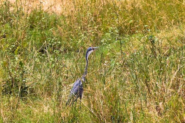 Большая голубая цапля в ожидании добычи парк меру кения Premium Фотографии