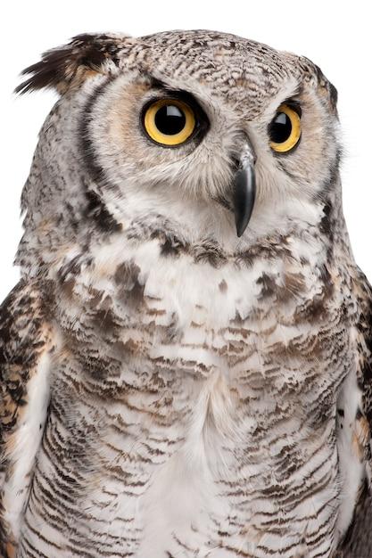 Great horned owl, bubo virginianus subarcticus, on white isolated Premium Photo