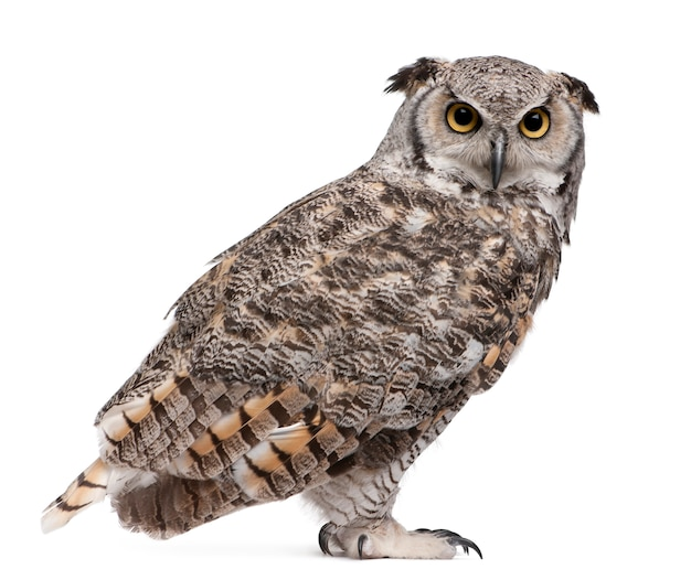 Great horned owl, bubo virginianus subarcticus, on white isolated Premium Photo