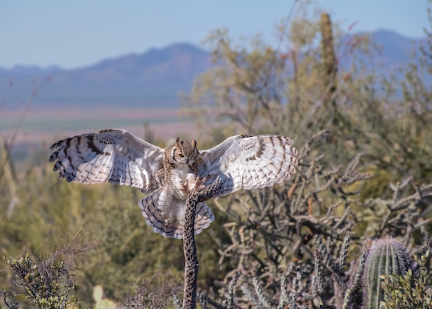 Great horned owl with outstretched wings and talons in the arizona desert Premium Photo
