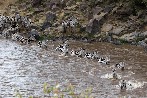 Великая миграция в кении масаи мара, серенгети, африка Premium Фотографии