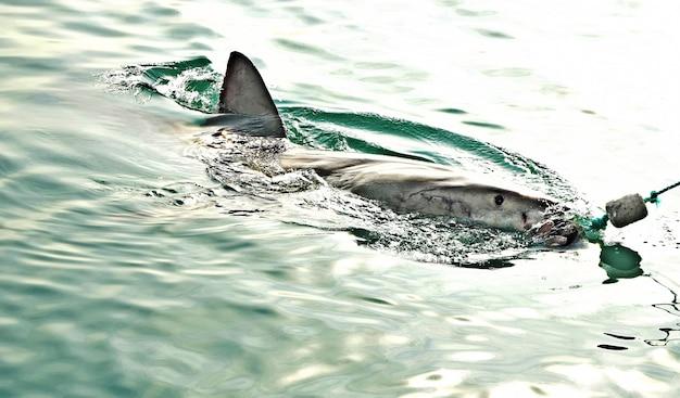 肉のルアーを捕らえ、おとりを封じるためにホオジロザメが海面を突破します。 無料写真