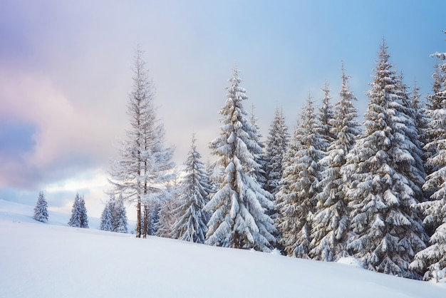Great winter photo in carpathian mountains with snow covered fir trees. Premium Photo