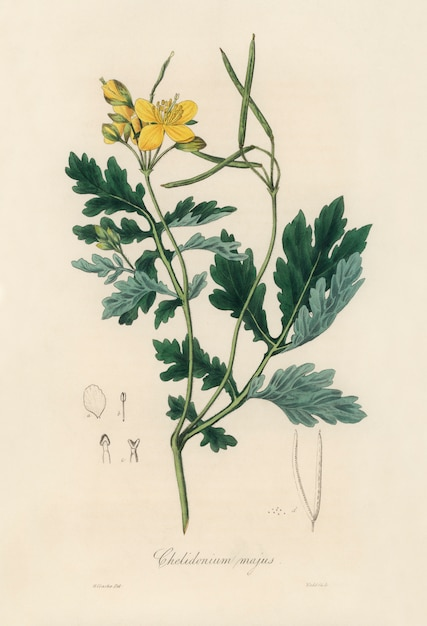 Greater celandine (chelidonium majus) illustration from medical botany (1836) Free Photo