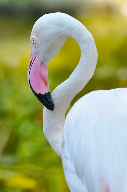Greater flamingo Premium Photo