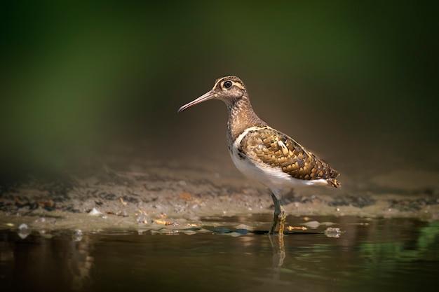 沼地で餌を探しているオオウミウシ Premium写真