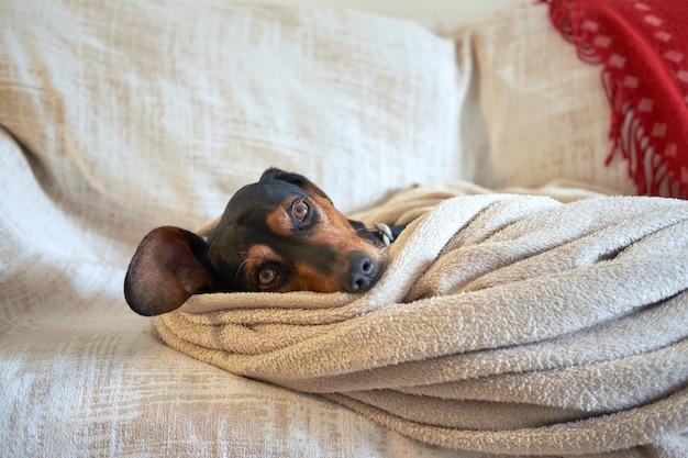 Cane segugio greco comodamente nascosto sotto l'asciugamano Foto Gratuite