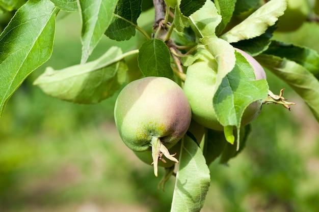 青リンゴの葉と果樹園の領土で育つリンゴ。 Premium写真