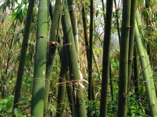 Green bamboo grove Free Photo