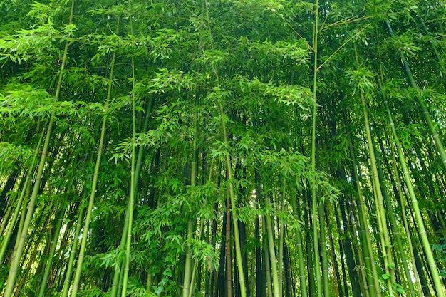 Green bamboo leaves  material. bamboo forest. Premium Photo