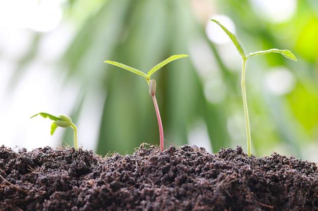 Green bean sprouts on soil in the vegetable garden. Premium Photo