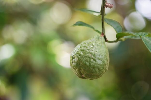 Green bergamot on tree Premium Photo