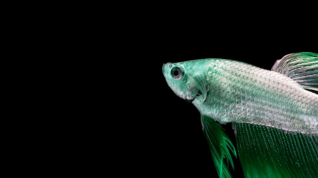 Green betta fish with copy space Free Photo