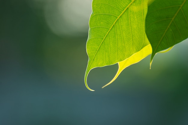Green bo leaf with sunlight  in the morning, bo tree  representing buddhism in thailand. Premium Photo