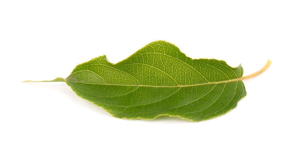 Green branch of kiwi leaves isolated on white Premium Photo
