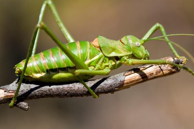 Зеленый куст-крикет Premium Фотографии