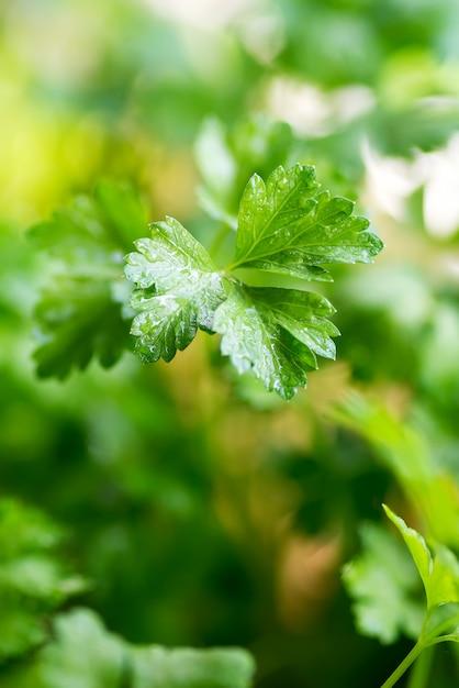 Green bush of curly parsley close up. Premium Photo