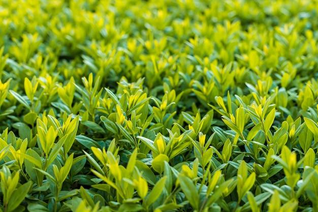 Green bushes closeup photo. fresh spring leaves background, soft focus Premium Photo