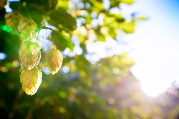 Green bushes of flowering hops in the sunlight Premium Photo
