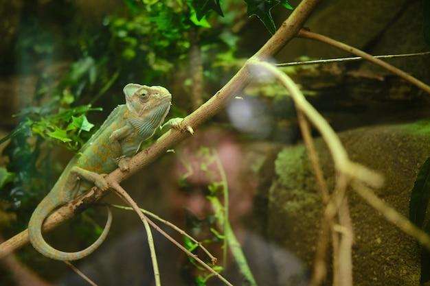 Camaleonte verde seduto su un ramo di un albero nello zoo Foto Gratuite