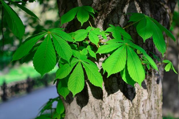 Green chestnut leaves. springtime concept. Premium Photo