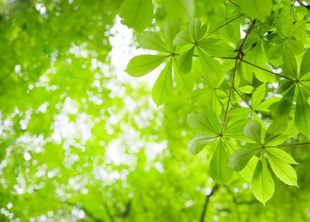 Green chestnut leaves Free Photo