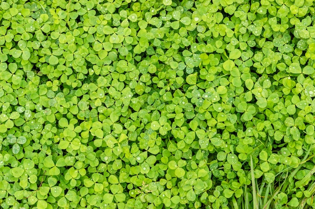 Green clover. background or texture of the leaves of the shamrock with drops of dew. Premium Photo