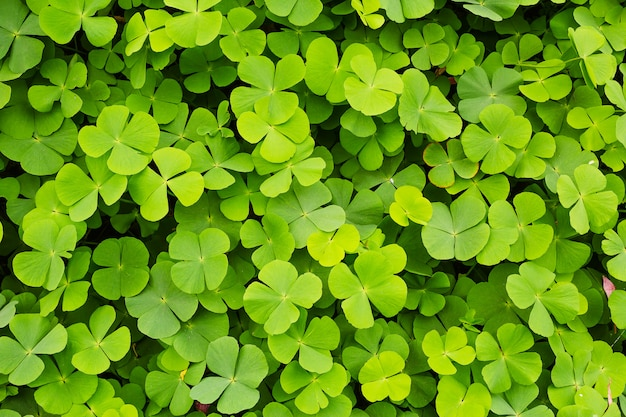 Green clovers leaf background Premium Photo