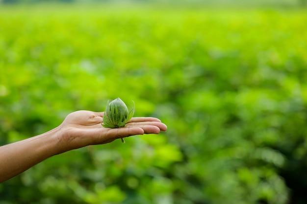 手持ちの緑の綿の果実 Premium写真
