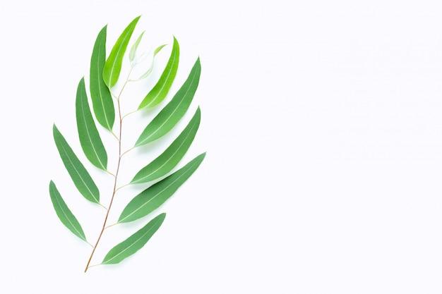 Green eucalyptus branch on white Premium Photo