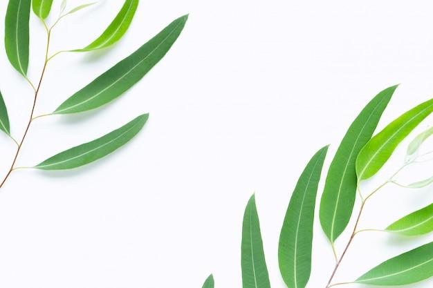 Green eucalyptus branches on white Premium Photo