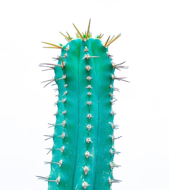 Green euphorbia cultivars cactus isolated on white Free Photo