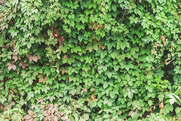Зеленая загородка конца parthenocissus henryana вверх. осенний девичий виноград с копией пространства. детальная текстура вставки партеноциссуса. живая изгородь из зеленых и красных листьев осенью. Premium Фотографии