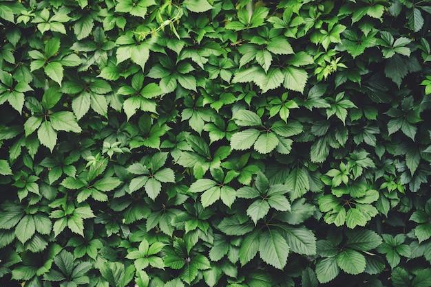 Green fence of parthenocissus henryana Premium Photo