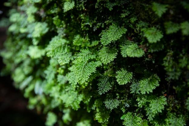 Зеленый папоротник подробно природа в тропическом лесу со мхом на скале / крупным планом Premium Фотографии