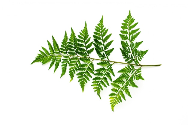 Green fern leaves isolated on white background Premium Photo