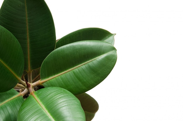 Green ficus plant isolated on white Premium Photo