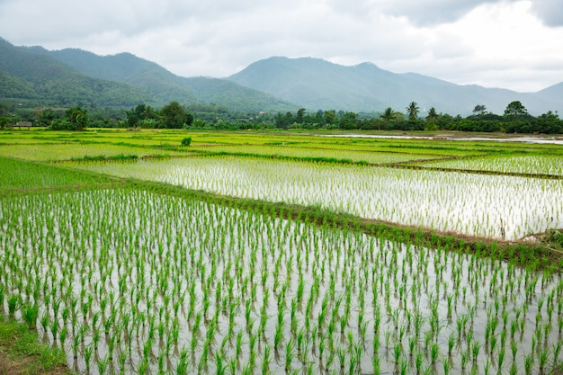 Green field of rice plant with water Premium Photo