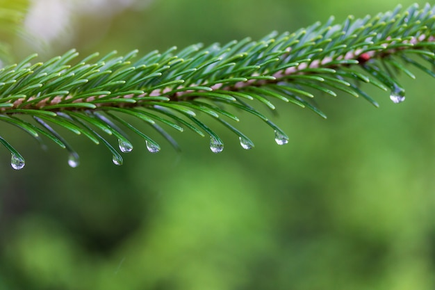 Green fir tree branch with water drops on a rainy spring or summer morning Premium Photo