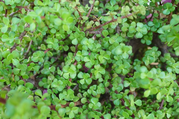 Green floral background, closeup texture. decorative bush succulent portulacaria afra for landscapin