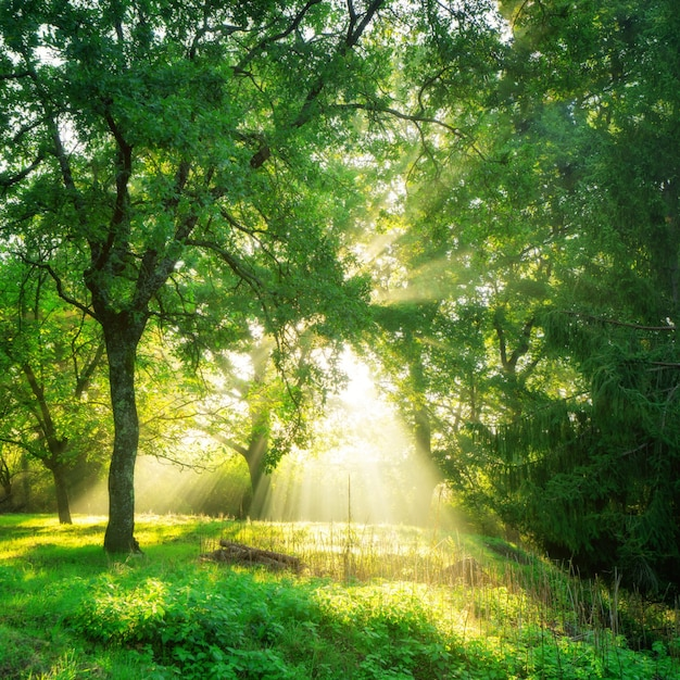 Green forest landscape background at sunrise. Premium Photo