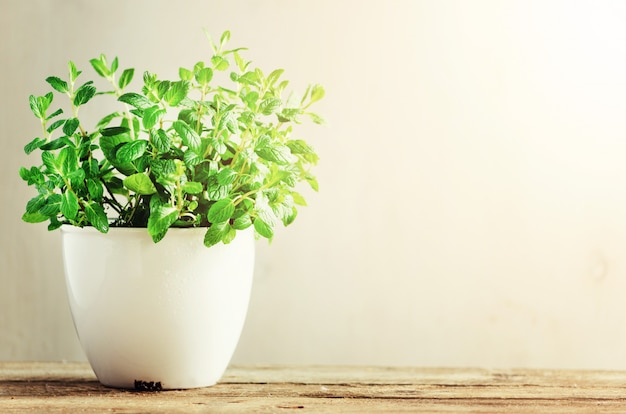 Green fresh aromatic herb melissa, mint in white pot on wooden background. b Premium Photo